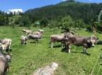 Bio-Jungrind vom Hof Dusch in Graubünden
