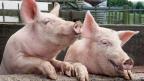 Fleischkonsum in der Schweiz sank 2015 um 2 Prozent